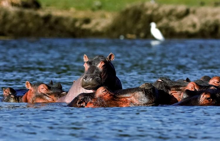 hippos - Tanzania Ultimate Serengeti Active Safari