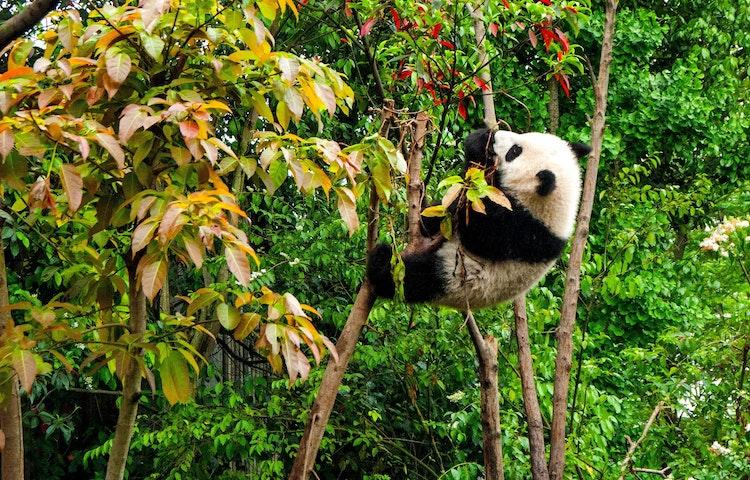 panda - China: Yosemite Sister Parks Hiking