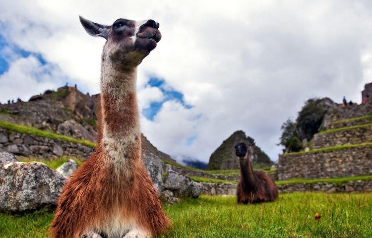 llamas at machu picchu - Peru Cusco and Machu Picchu Trek
