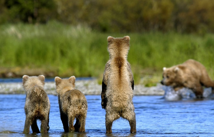 grizzly cubs watching mom