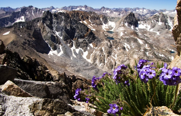sky pilot flowers - California John Muir Trail Southbound to Mt. Whitney Trek
