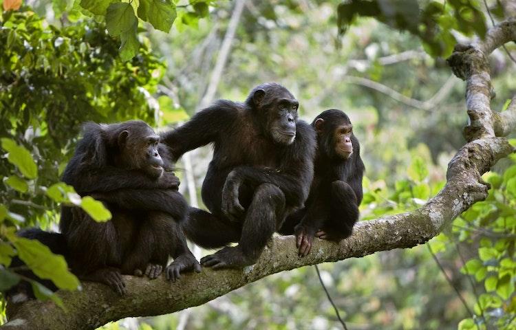 chimp family