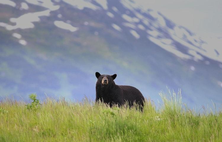 attentive black bear