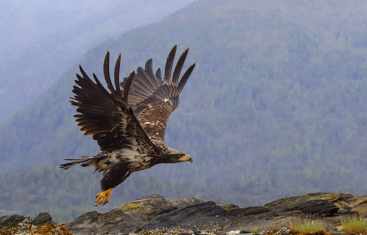 young eagle flying