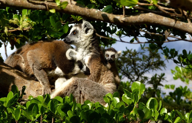 sifaka in tree - Madagascar Baobabs & Lemurs Active Safari Private Adventure