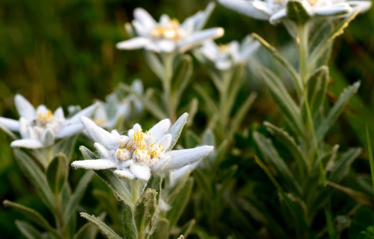 edelweiss - Alps Tour du Mont Blanc Hiking