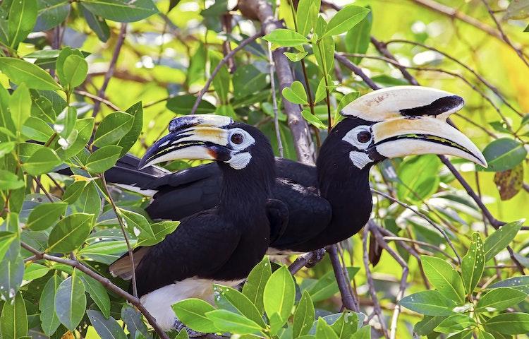 hornbills - Borneo Rainforests & Villages Wildlife Safari