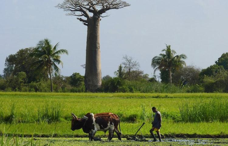 farmer and ox - Madagascar Baobabs & Lemurs Active Safari Private Adventure