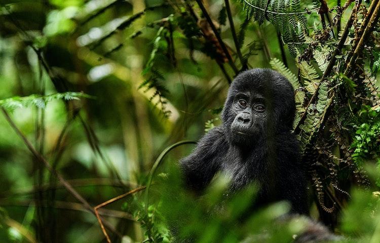 baby gorilla portrait