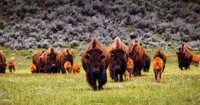 Wyoming Yellowstone & Grand Teton Private Adventure