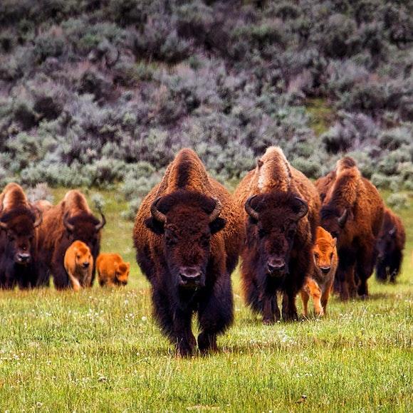 Wyoming Yellowstone & Grand Teton Private Adventure   MT Sobek