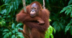 Borneo Rainforests & Villages Wildlife Safari