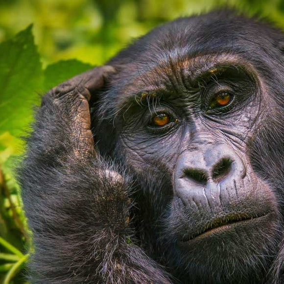 Uganda Gorilla Safari | MT Sobek