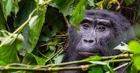 Rwanda Primate Adventure
