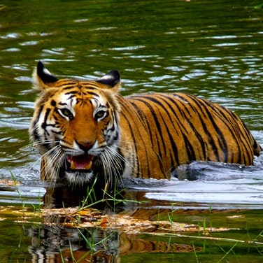 India & Nepal Save the Tiger