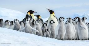 Antarctica In Search of the Emperor Penguin Adventure Cruising